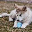 Jouet Kong Puppy