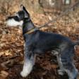 Laisse fine et ajustable pour chien Easy - grise